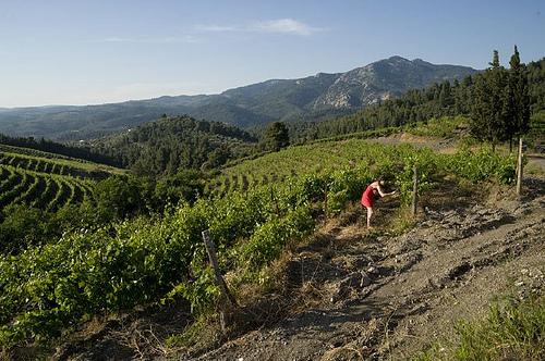 porto carras vineyard