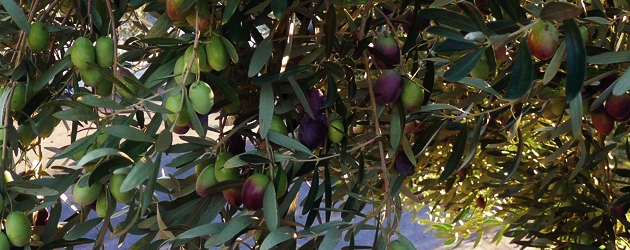 sithonia olives