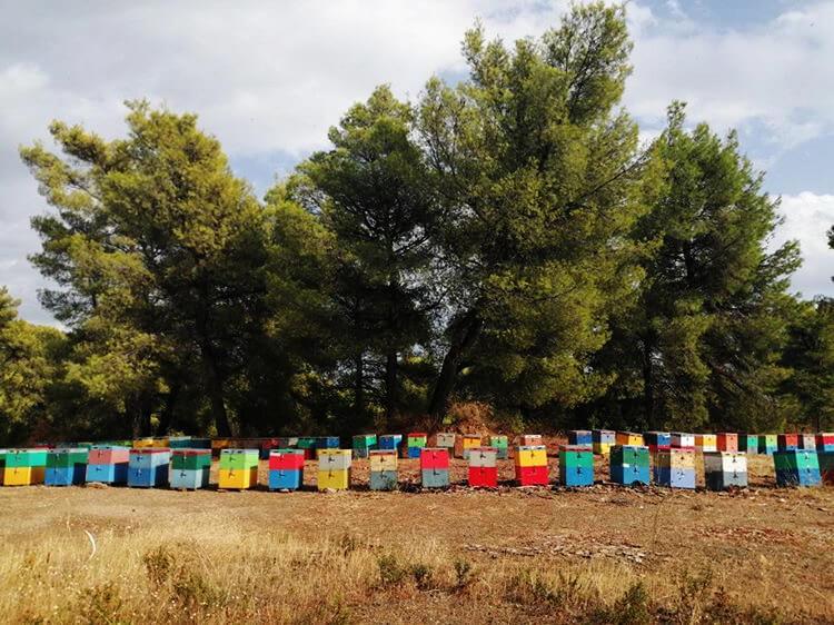 sithonia honey bee beehivas